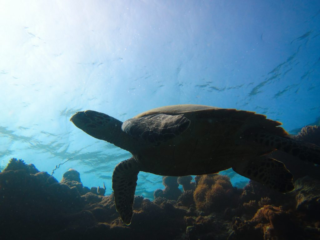 Giant turtle wandering about Maldives underwater snorkelling