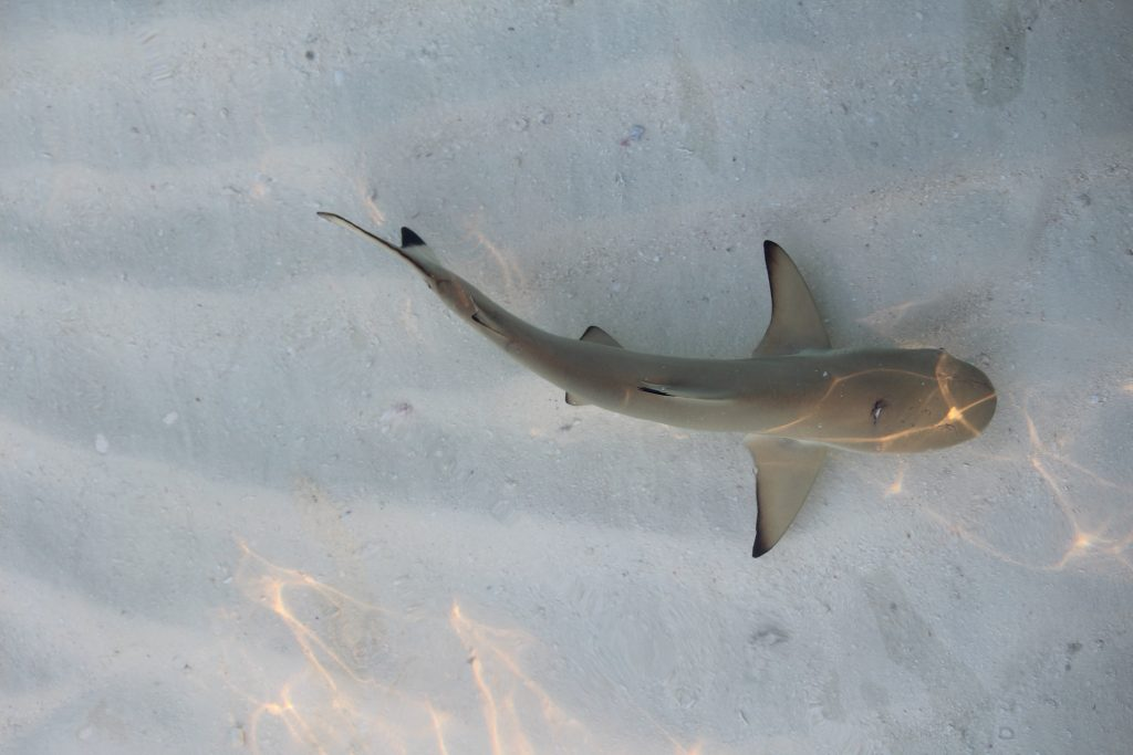 Sand sharks - so adorable and harmless: don't worry, they eat plankton