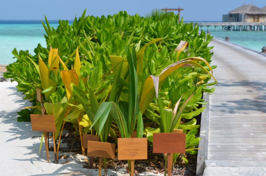 Plant a palm tree Maldives Constance Moofushi